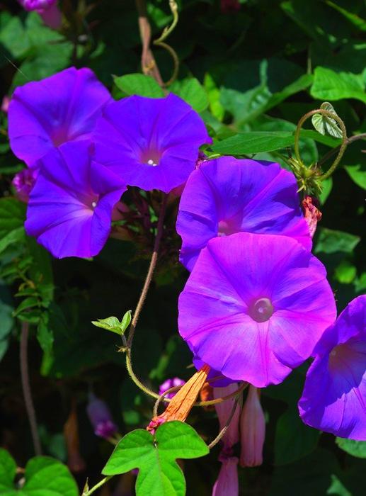 цветок-ипомея-4 (517x700, 101Kb)