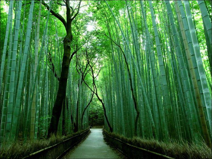 sagano_bamboo_forest_03 (700x525, 107Kb)