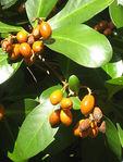 Превью Corynocarpuslaevigatus012 (250x329, 26Kb)