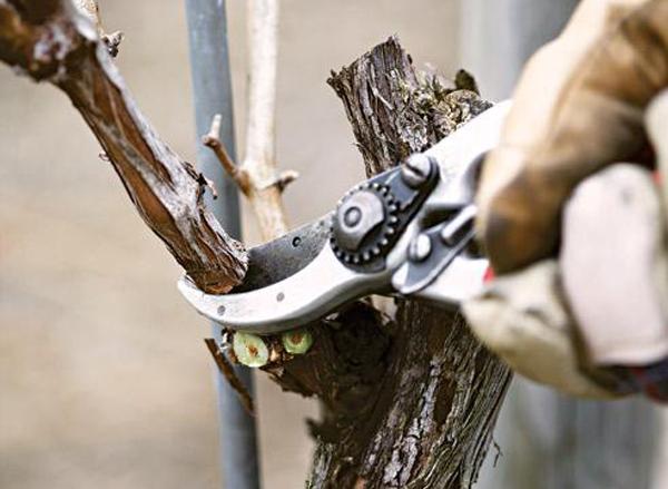 Общие положения для обрезки винограда