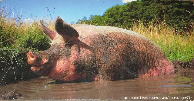 свинья (640x335, 204Kb)