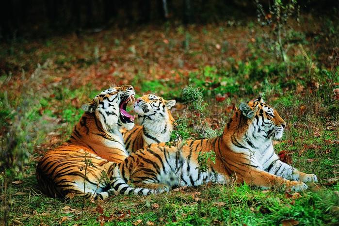 тигр (700x466, 148Kb)