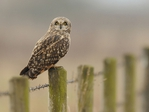 Превью Animals_Birds_Owl_on_a_fence_032970_ (700x525, 198Kb)