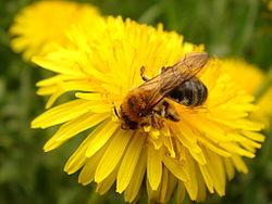 250px-Пчела (250x188, 12Kb)