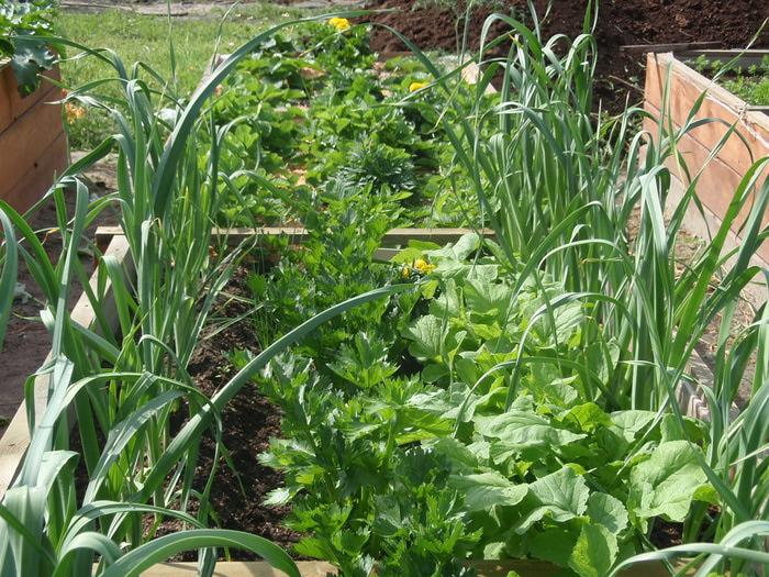 совместных посадок овощей.