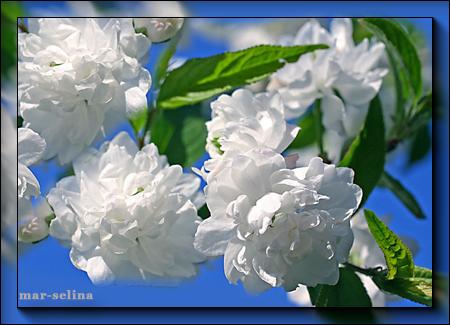 белая-сакура (450x325, 253Kb)