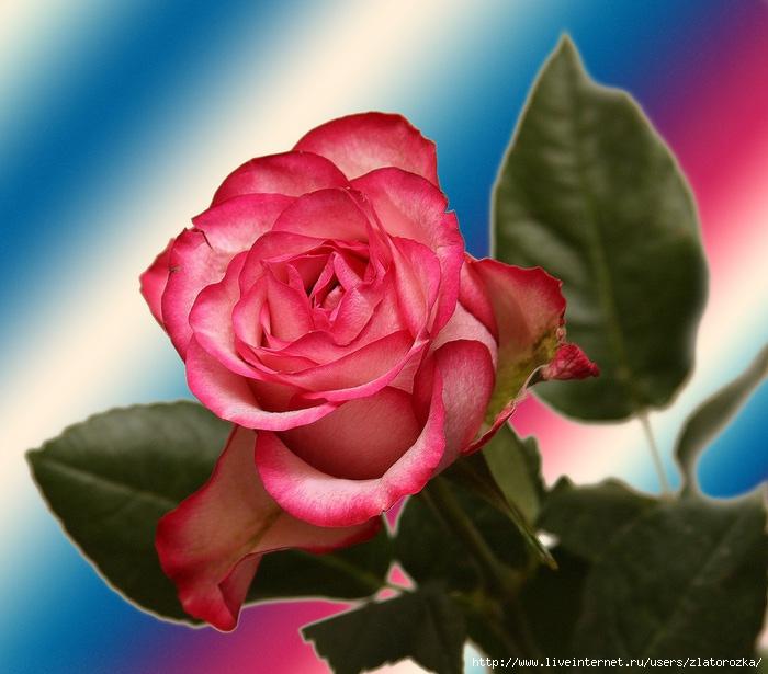 роза11 (700x615, 206Kb)