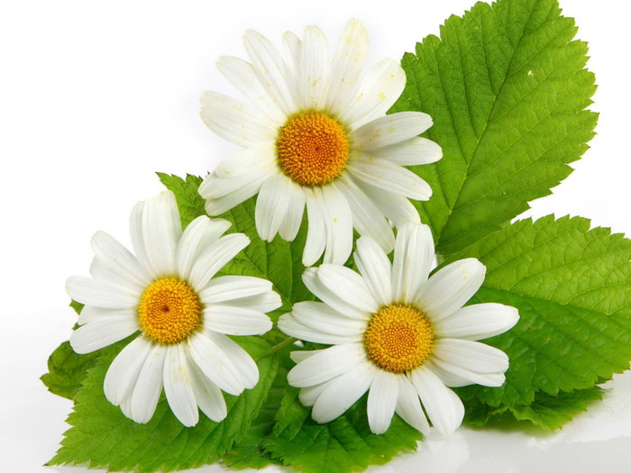 Nature_Flowers_Three_Daisies_029732_ (600x425, 89Kb)