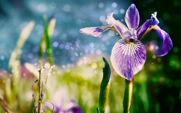 4278666_Nature_Flowers_Irises_026753_ (700x437, 205Kb)