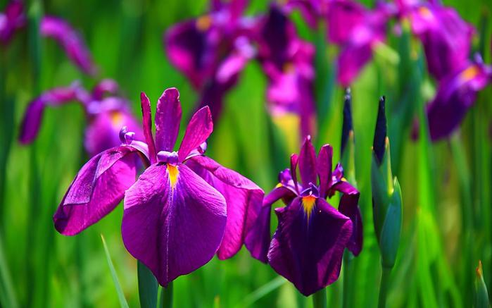 iris-flower-658-18 (700x437, 39Kb)