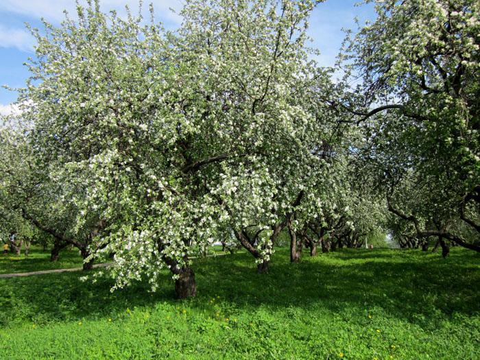 Коломенское Сады 14 (700x525, 236Kb)