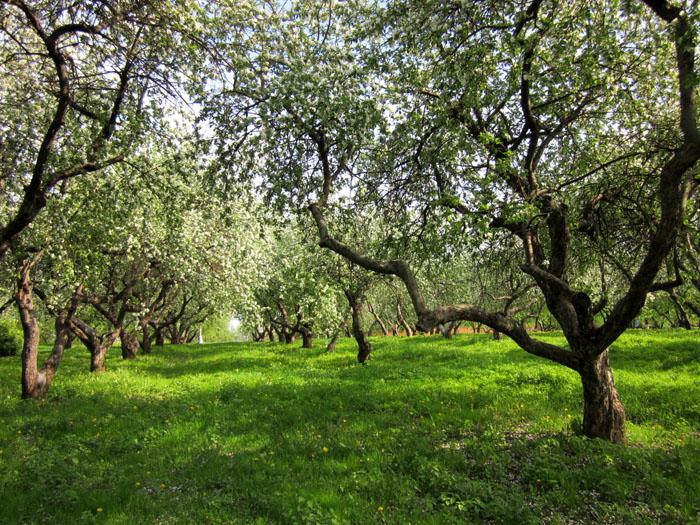 Коломенское Сады 16 (700x525, 242Kb)
