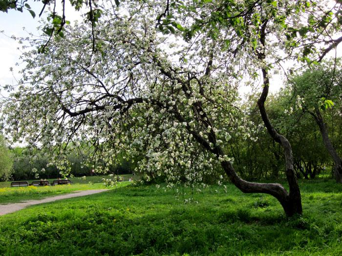 Коломенское Сады 43 (700x525, 227Kb)