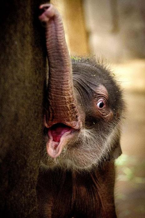 Индийский слоненок (2) (465x700, 48Kb)