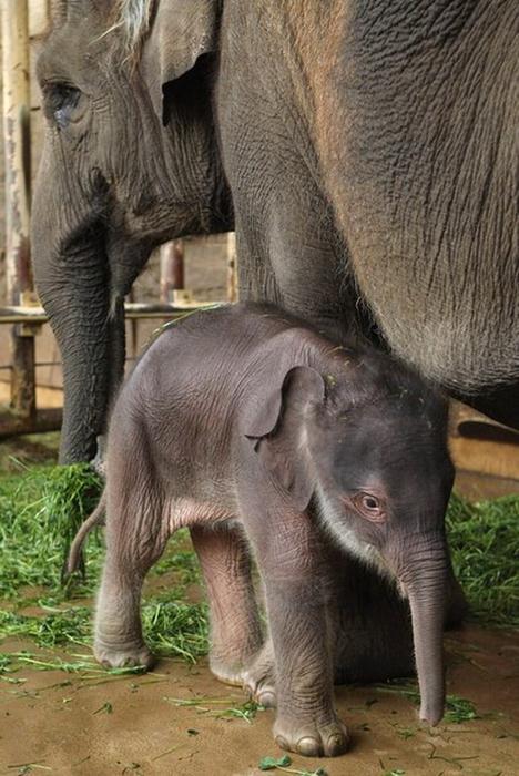Индийский слоненок (3) (468x700, 65Kb)