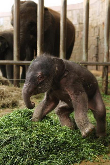 Индийский слоненок (6) (468x700, 59Kb)