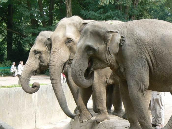 индийские слоны (700x525, 65Kb)