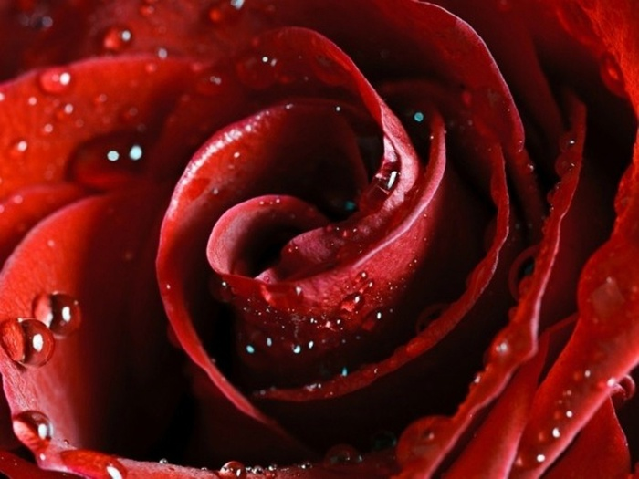 Скачать обои scarlet, Hd wallpapers, flower, red, rose, beautiful nature wallpapers, роза, красная - картинка #4751 c разрешение