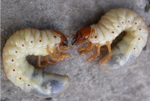 личинка майского жука фото и медведки