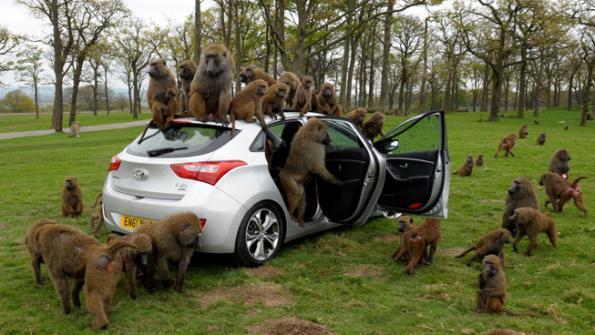 Обезьяна за рулем. Фото дня   менеджеры Hyundai остались довольны экспериментом