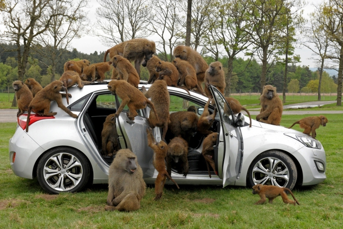 Испытание новой модели автомобиля Hyundai в сафари-парке Ноусли, Великобритания. (700x466, 271Kb)