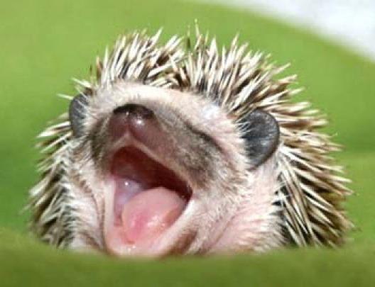 happyhedgehog (528x405, 52Kb)