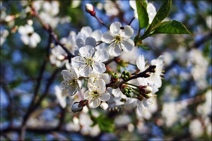 Цветение вишни/3673959_1 (700x464, 193Kb)