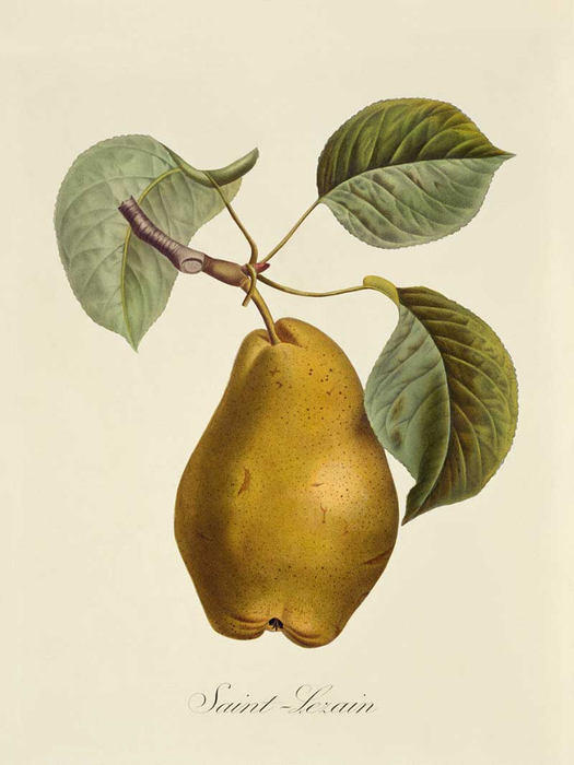 85_PEAR1_enl (525x700, 193Kb)