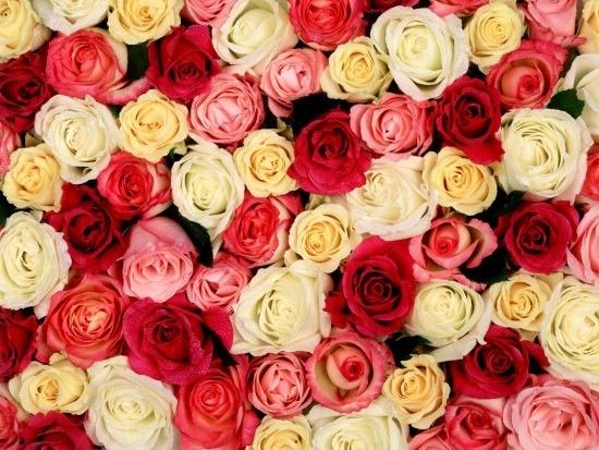 розы (550x413, 105Kb)