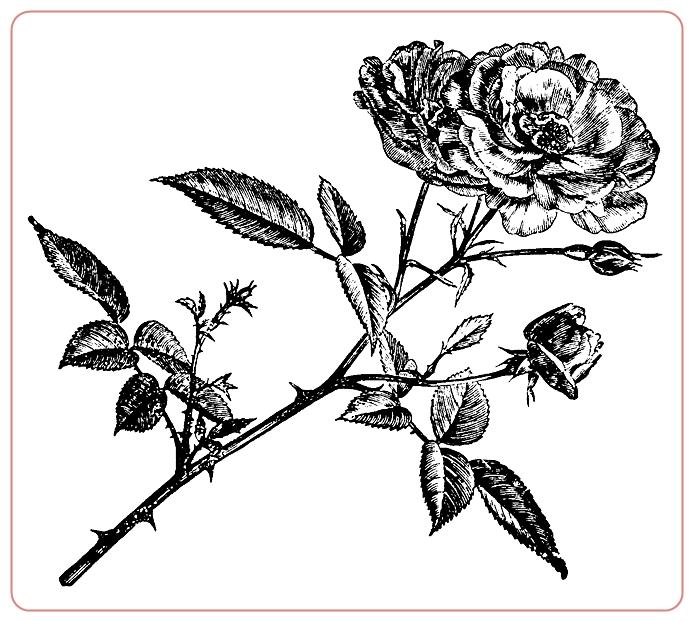rosev (3) (694x622, 221Kb)