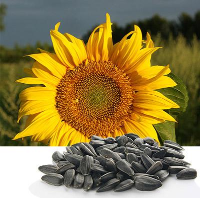 wc_sunflower (400x395, 103Kb)