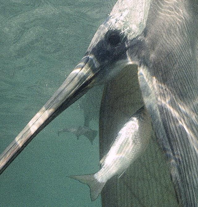 Пеликан и рыбка | Фотография