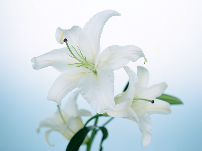 1337712455_Nature_Flowers_White_lily__Flowers_008288_ (700x525, 44Kb)
