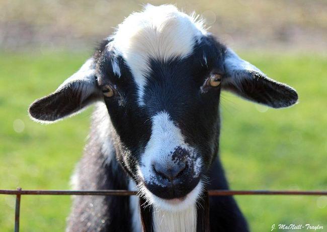 fainting_goat_01 (650x462, 40Kb)