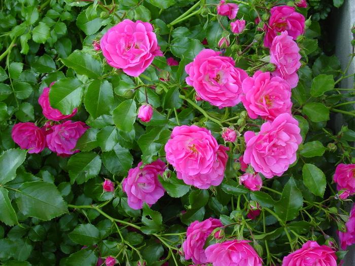 Цветы шиповника картинки 1