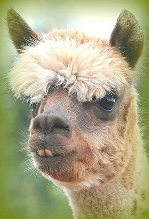 Смешные фото домашних животных - альпака 2 (476x700, 340Kb)