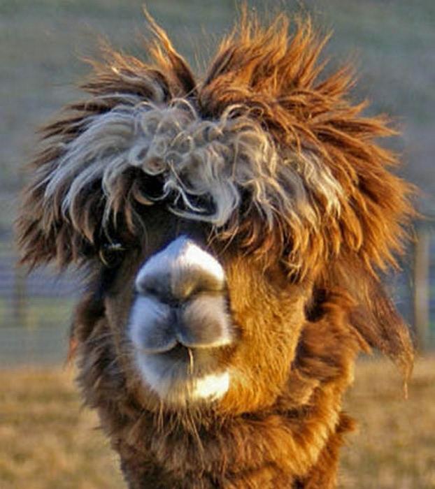 Смешные фото домашних животных - альпака 3 (622x700, 99Kb)