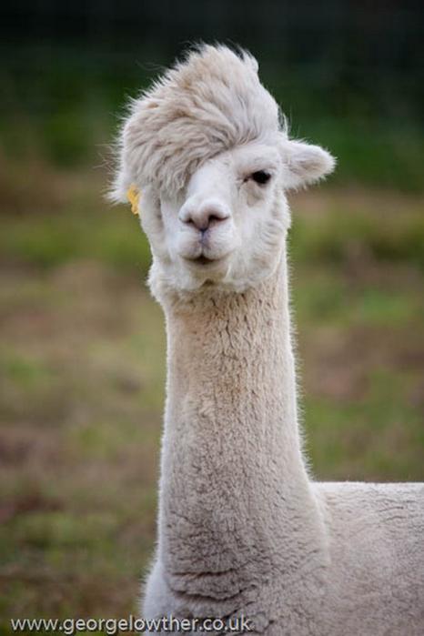 Смешные фото домашних животных - альпака 5 (466x700, 242Kb)