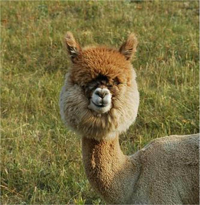 Смешные фото домашних животных - альпака 7 (650x666, 144Kb)