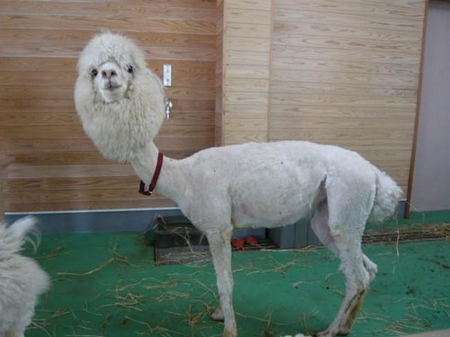 Смешные фото домашних животных - альпака 9 (650x488, 80Kb)