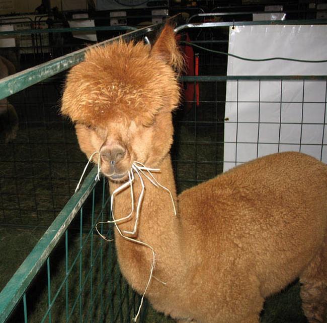 Смешные фото домашних животных - альпака 15 (650x641, 139Kb)