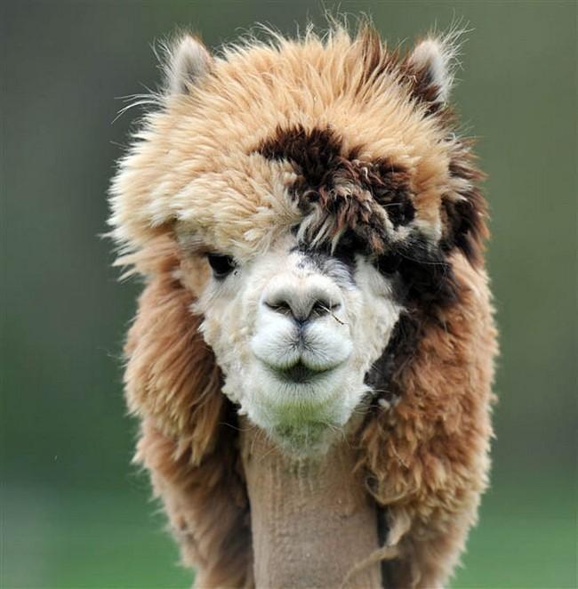 Смешные фото домашних животных - альпака 17 (650x662, 108Kb)