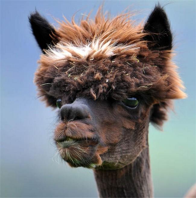 Смешные фото домашних животных - альпака 19 (650x658, 111Kb)