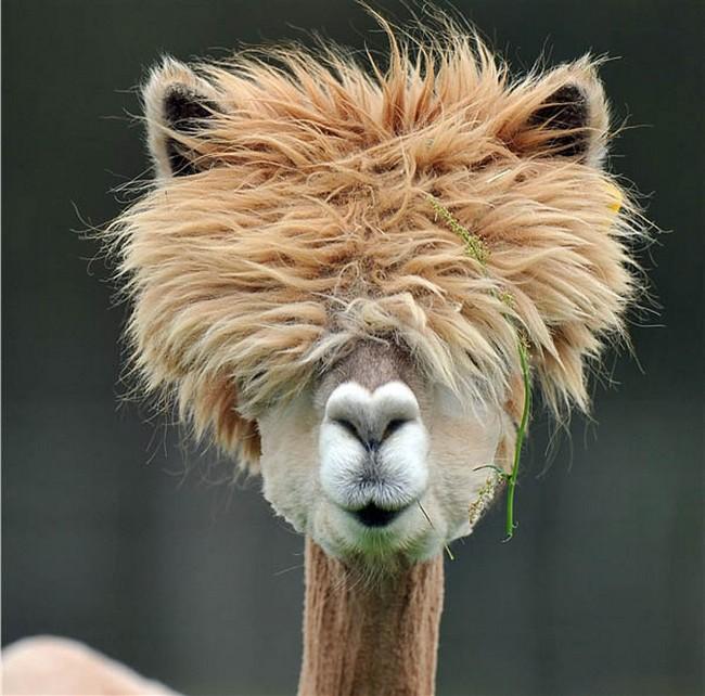 Смешные фото домашних животных - альпака 20 (650x642, 124Kb)