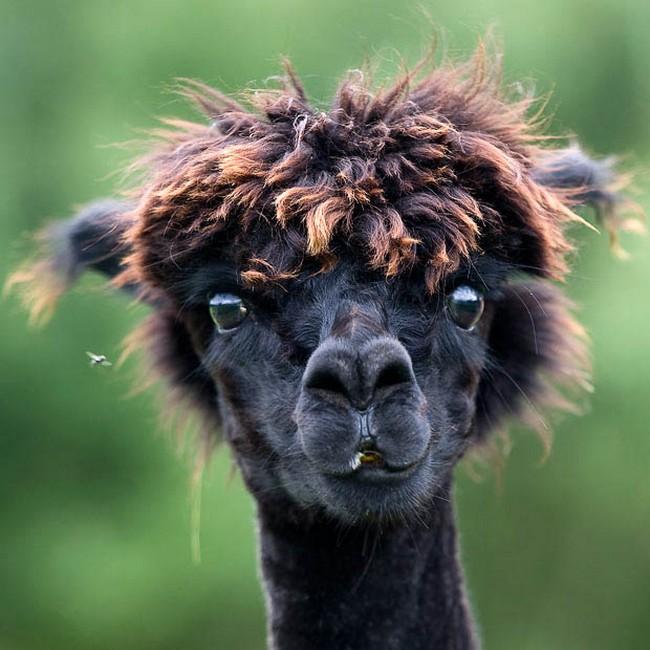 Смешные фото домашних животных - альпака 22 (650x650, 110Kb)