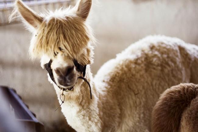 Смешные фото домашних животных - альпака 24 (650x433, 81Kb)