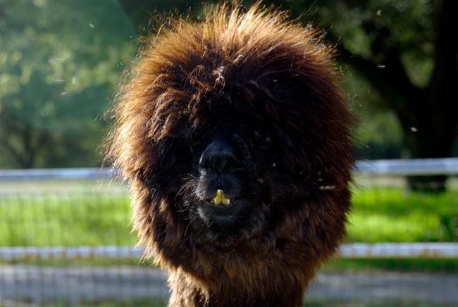 Смешные фото домашних животных - альпака 26 (650x436, 80Kb)