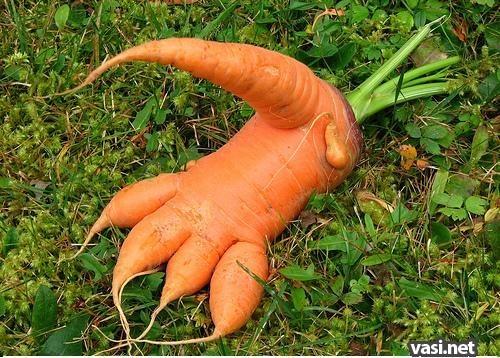 женские Brubeck у моркови большая ботва и маленький корнеплод мало кто знает