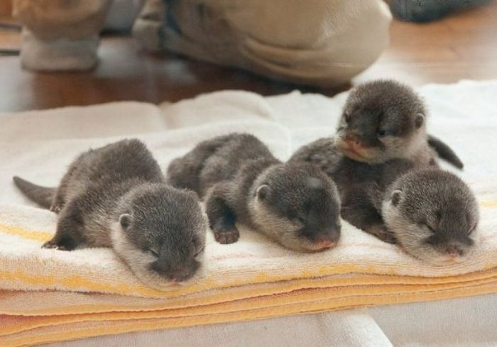 baby_otters_03 (700x489, 46Kb)