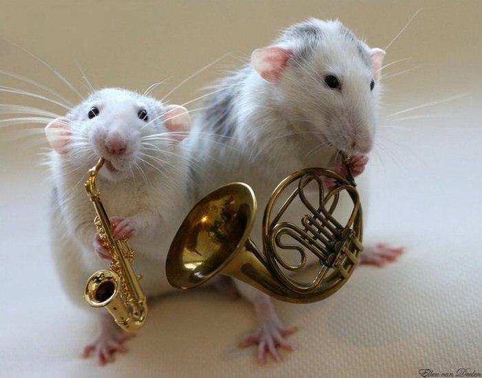 смешные крысы фото 1 (700x550, 57Kb)